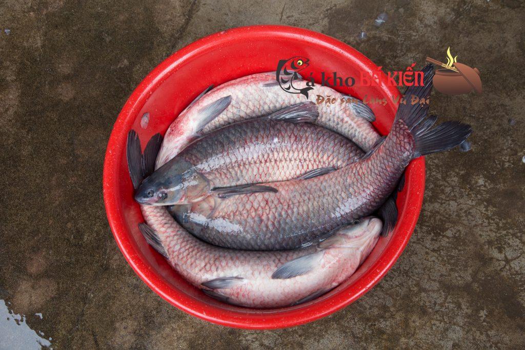 Nguyên liệu chính là cá trắm đen nuôi ốc có trọng lượng tối thiểu 3kg mới đạt tiêu chuẩn để kho cá